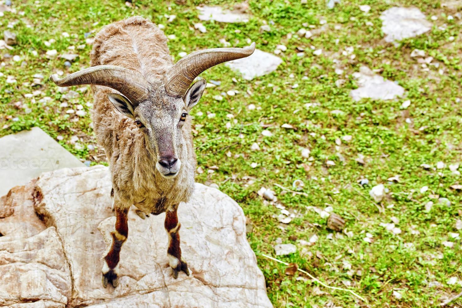 animal oveja azul foto