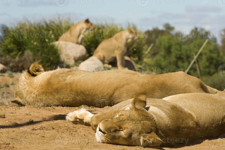 Manada de leones foto