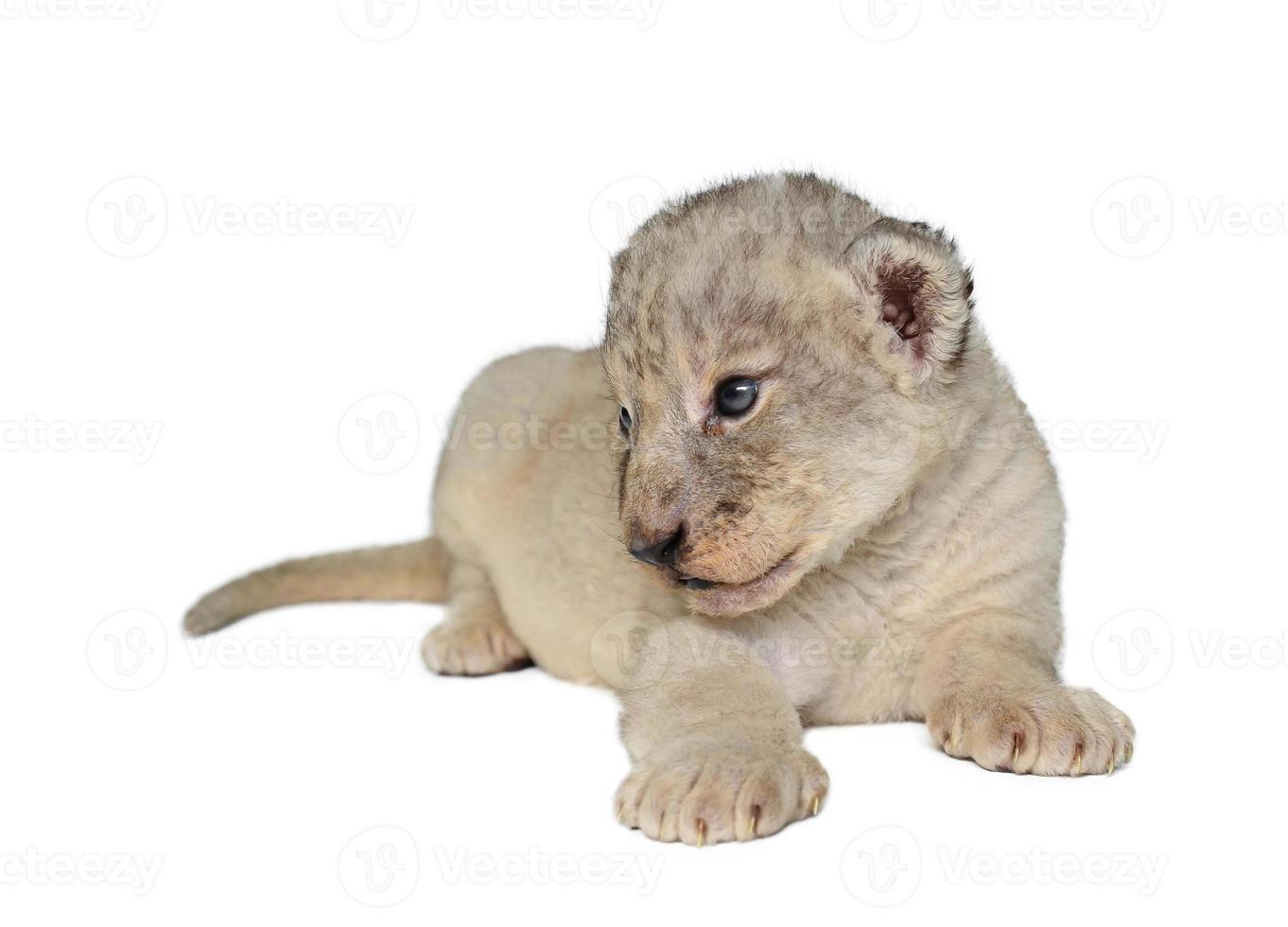 bebé león aislado foto