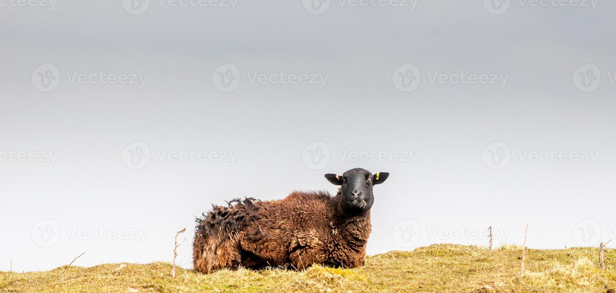 Isolated black sheep photo