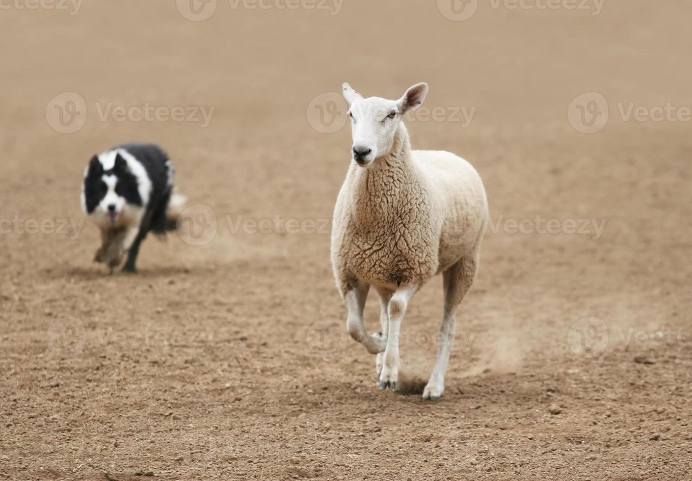 Rounding a Sheep photo
