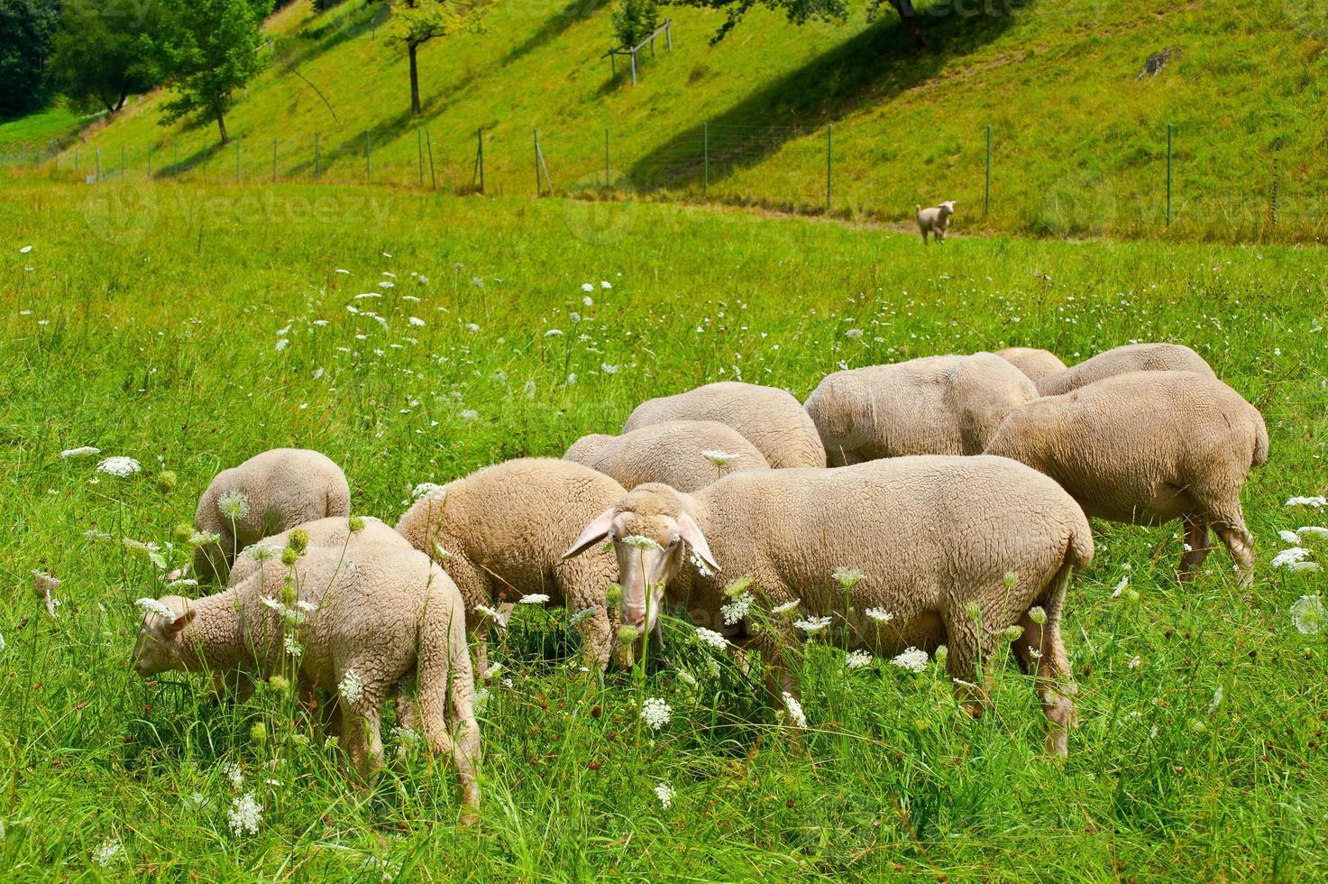 Grazing Sheeps photo