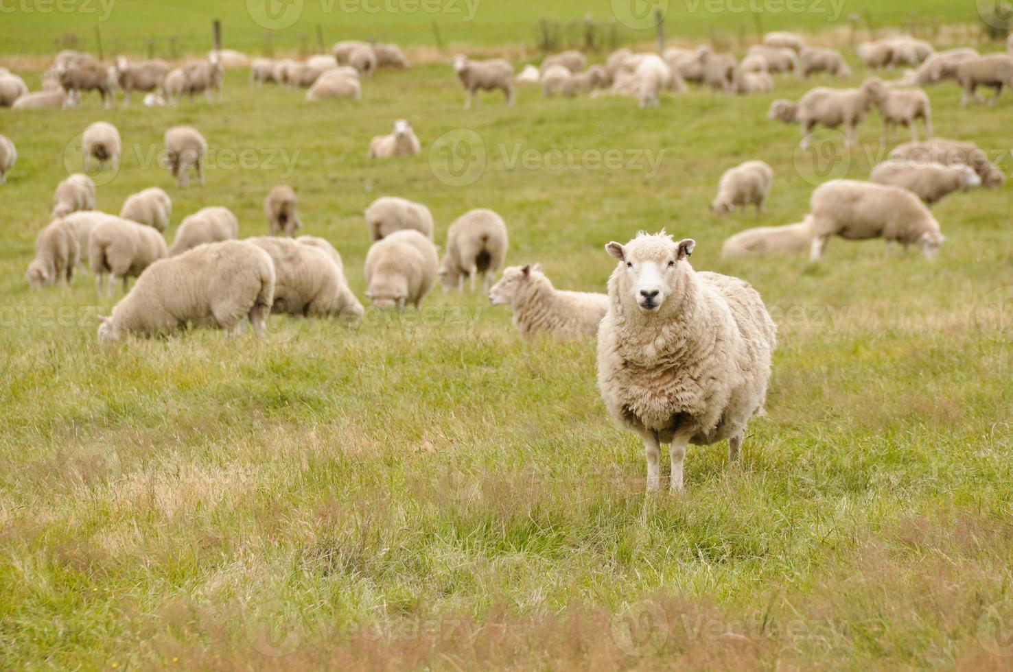 Flock of sheep in New Zealand photo