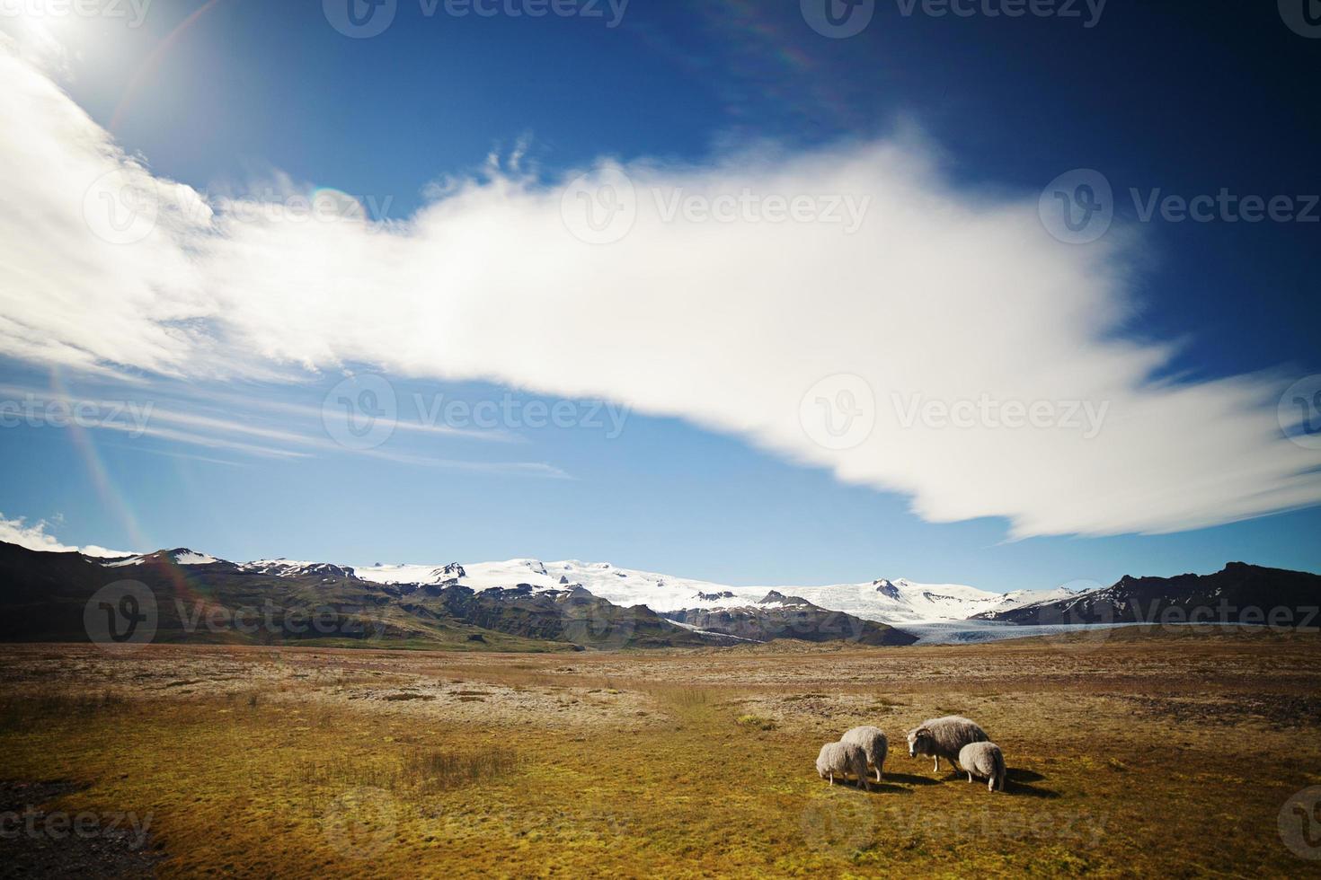 ovejas islandesas en pradera foto