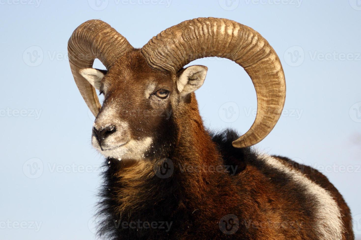 mouflon trophy photo