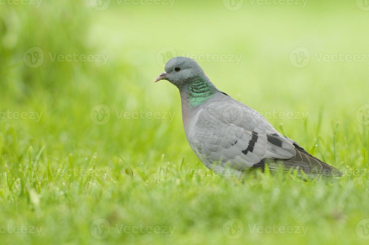 Stock Dove; (Columba oenas) photo