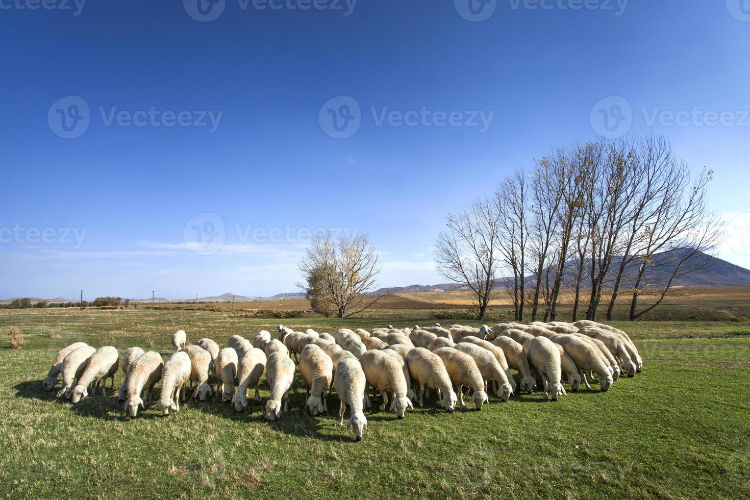 Flock of sheep on field photo