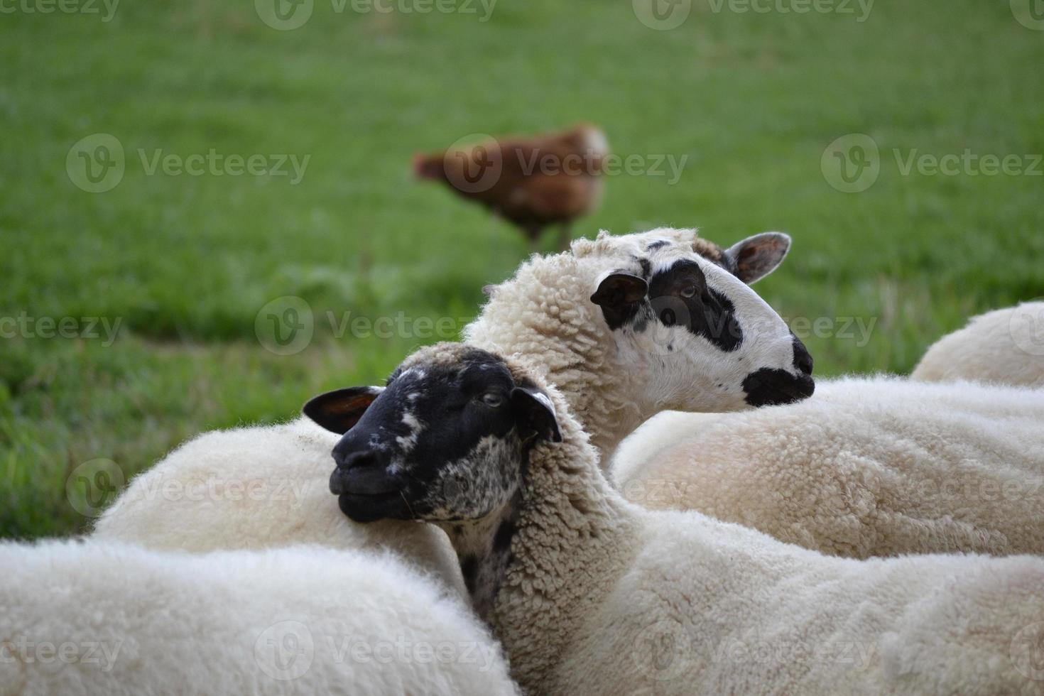 two sheep in the herd photo