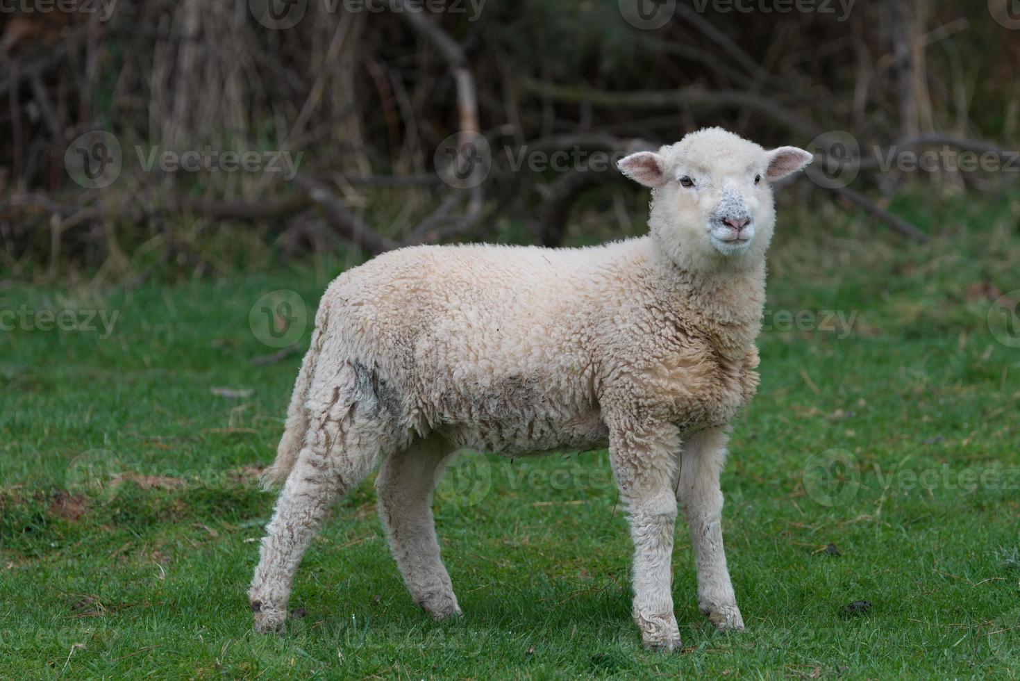Sheep in a paddock photo