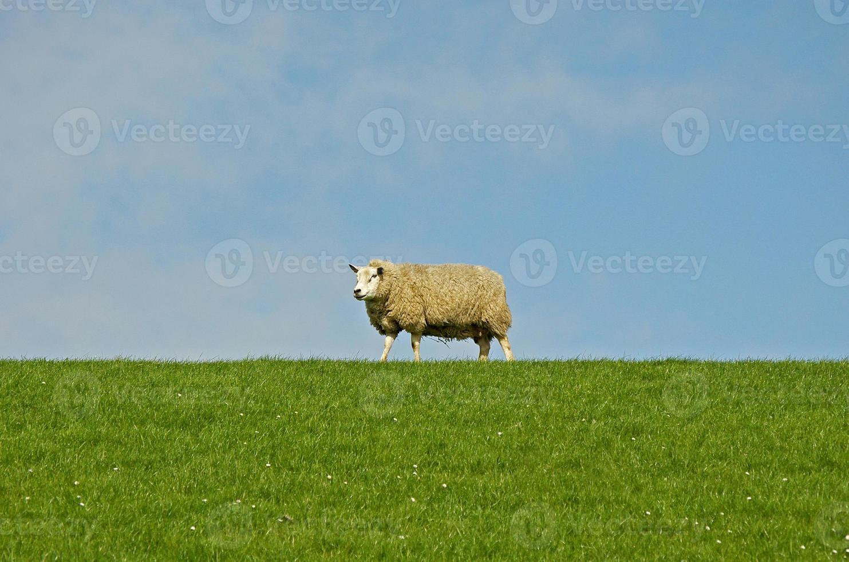 ovejas en la parte superior del terraplén foto