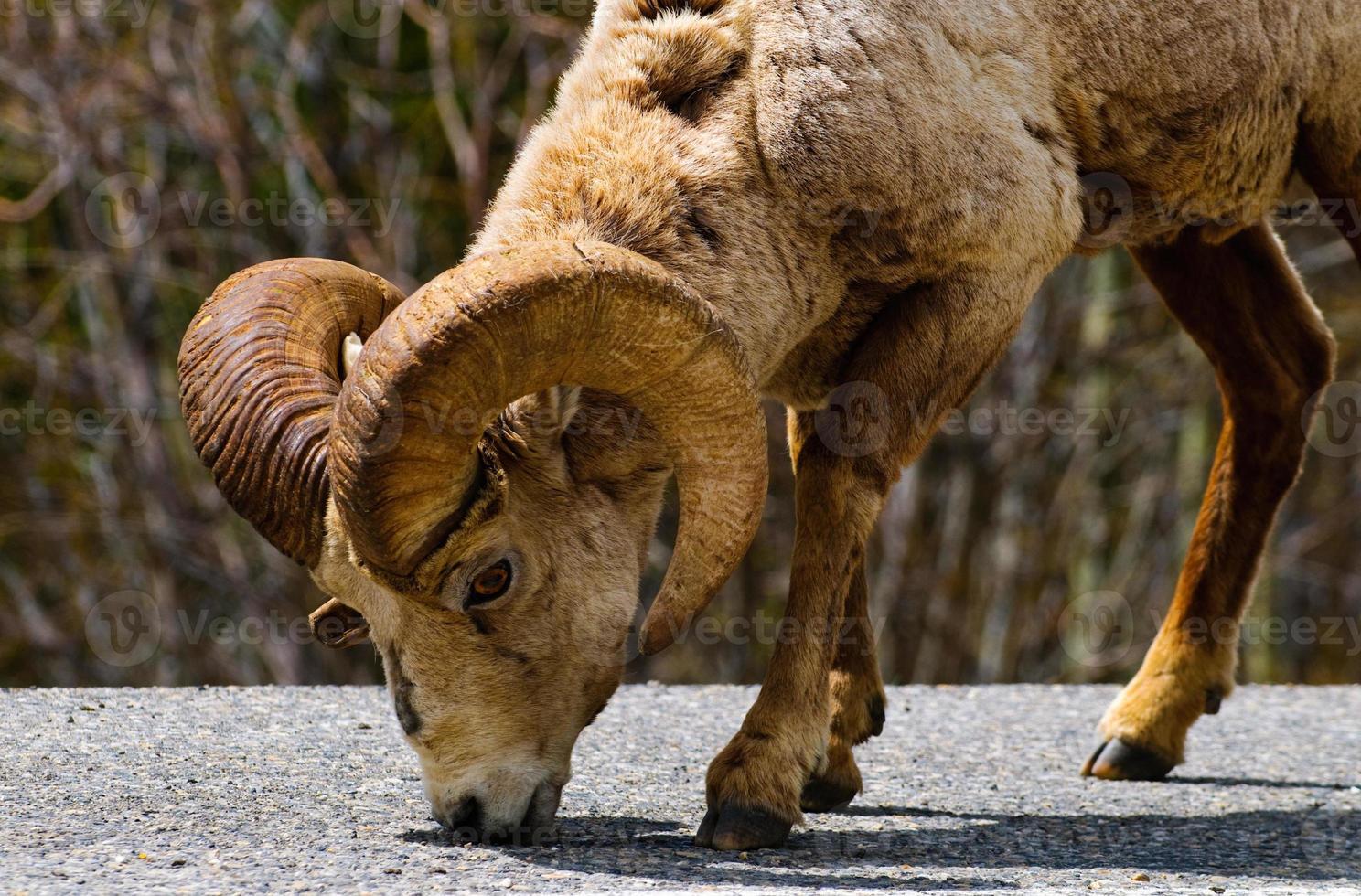 ovejas de cuernos grandes de montaña rocosa foto