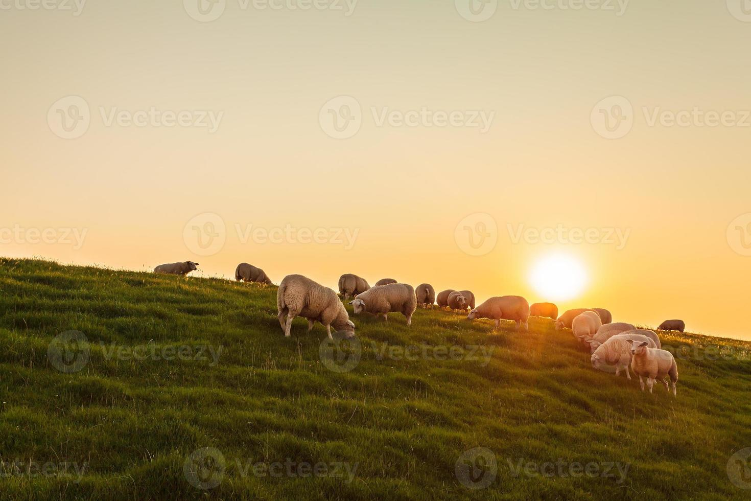 Sheep herd on a Dutch dike during sunset photo