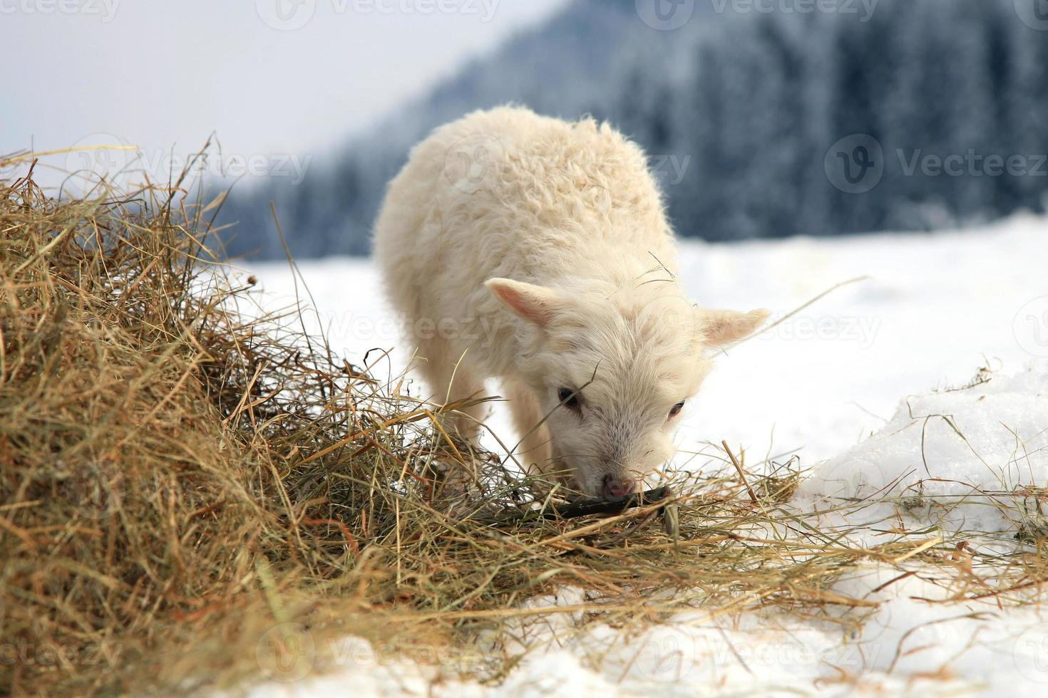Portrait of a baby sheep skudde grazing on straw in the snow photo