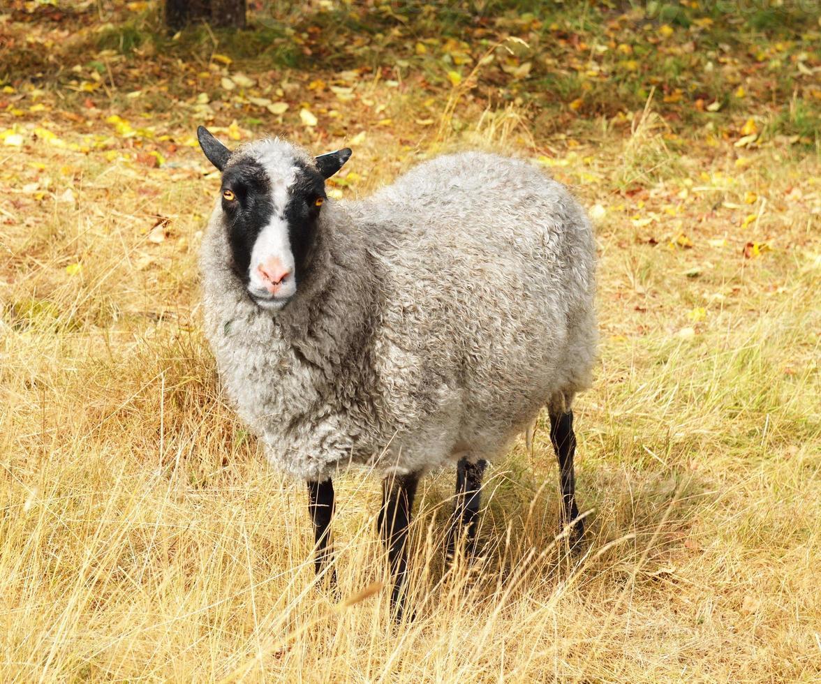 Cute sheep on autumn lawn photo