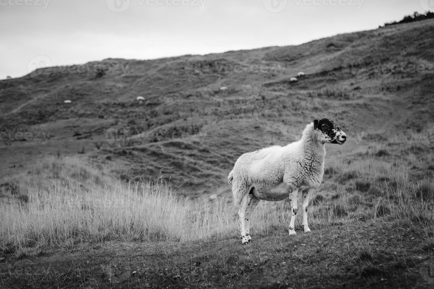 Sheep grazing on a hillside photo