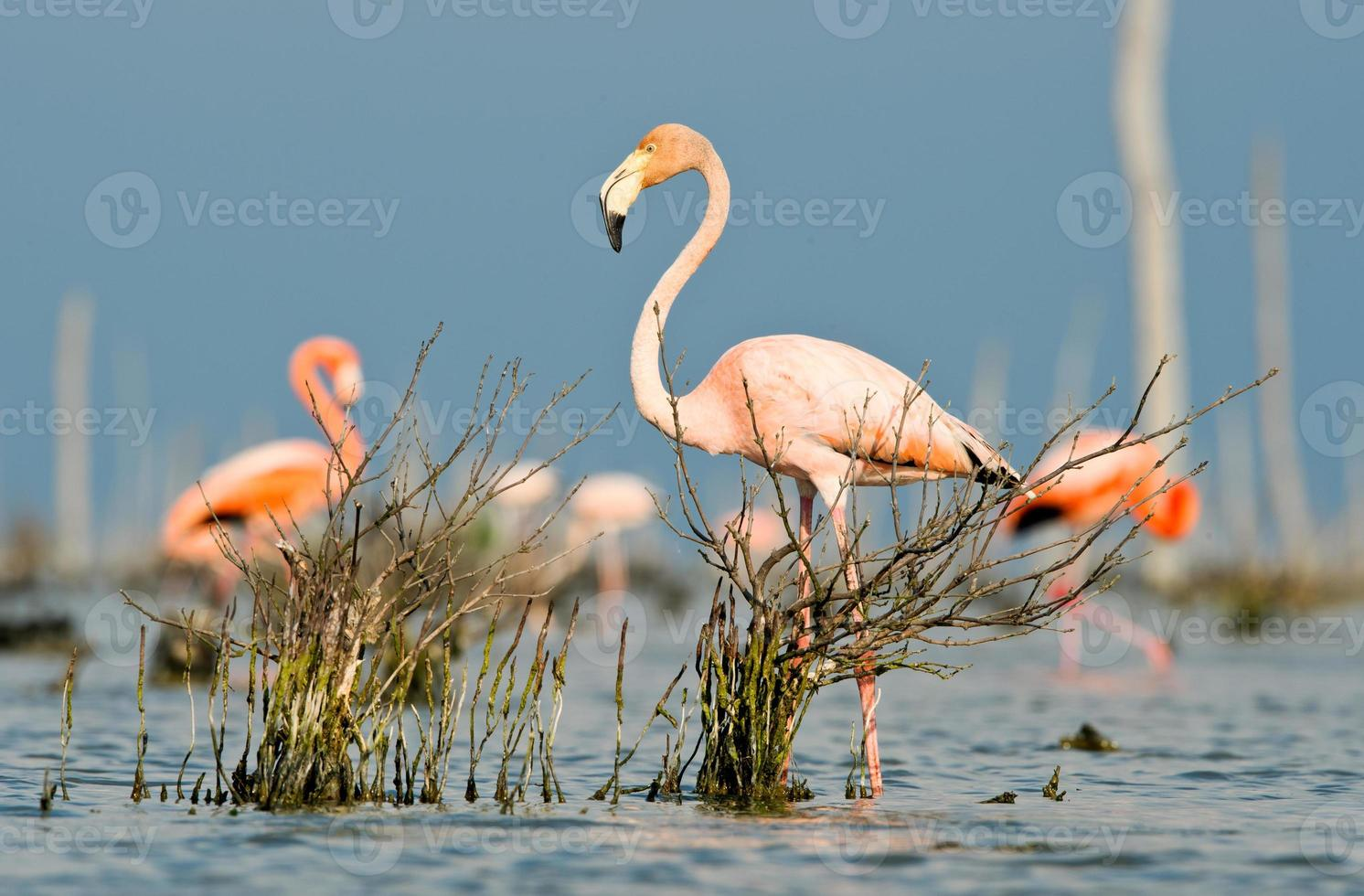 The pink Caribbean flamingo goes on water. photo