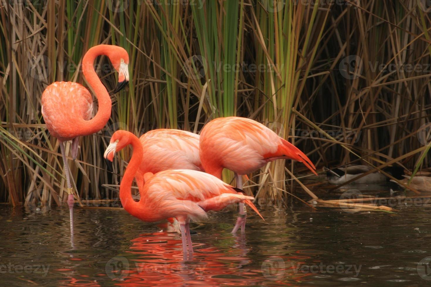 flamingos em pé foto
