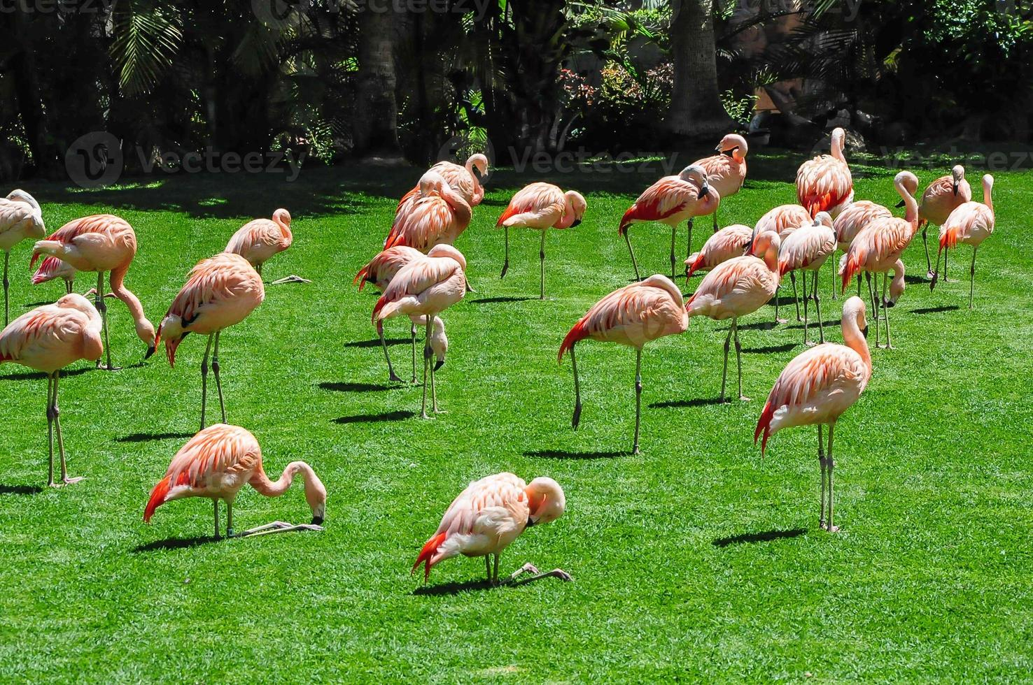 Group of flamingos on green grass photo