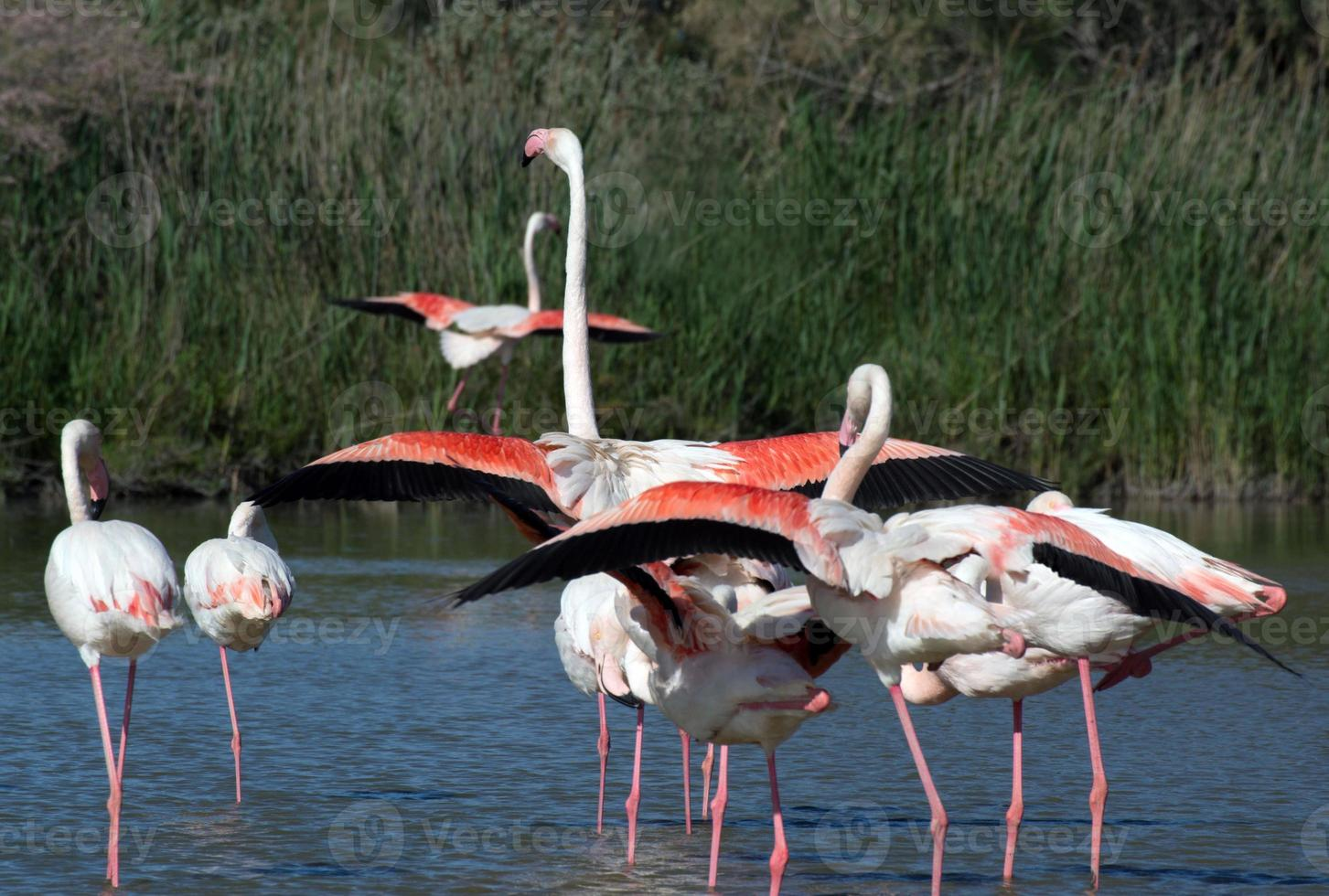Flamingos in the National Park of Camague, France photo