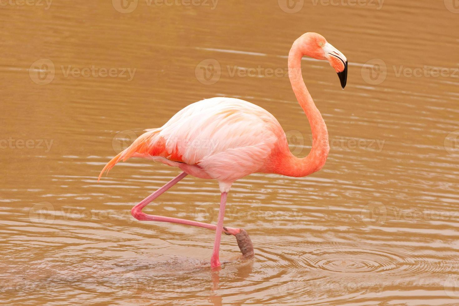 Pink Flamingo (Phoenicopterus ruber) photo