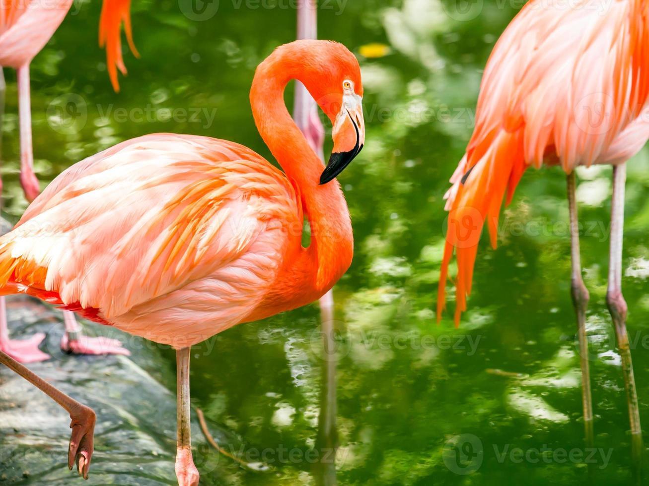 Portrait of American Flamingos photo