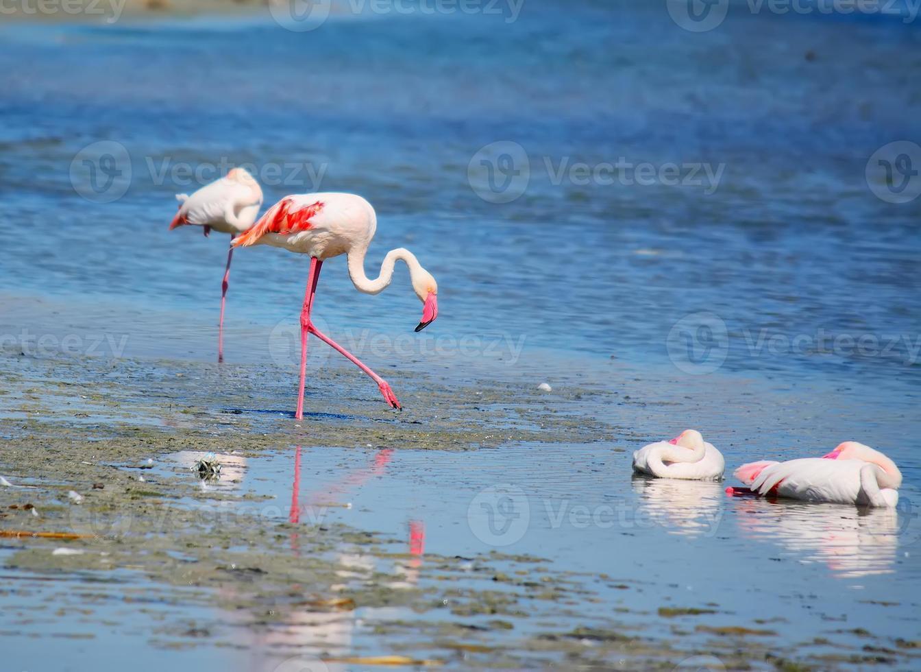 flamencos rosados en el estanque molentargius foto
