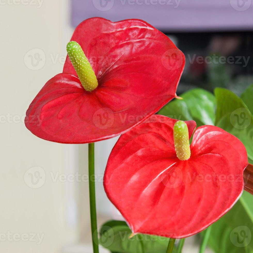 Close up of Flamingo flower photo