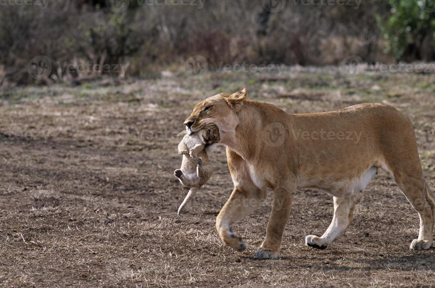 Lioness carrying Cub photo