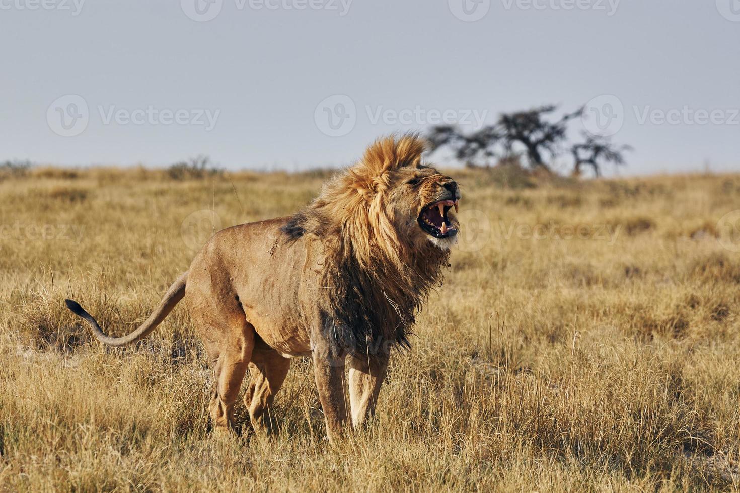 rugido de leones foto