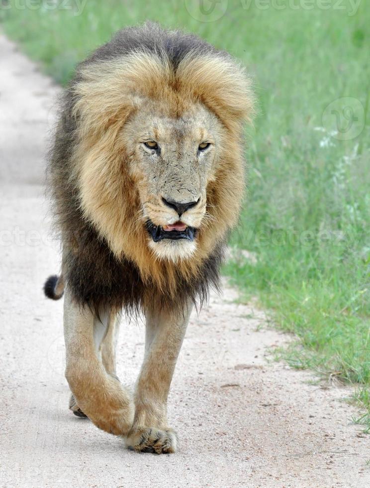 león de áfrica foto