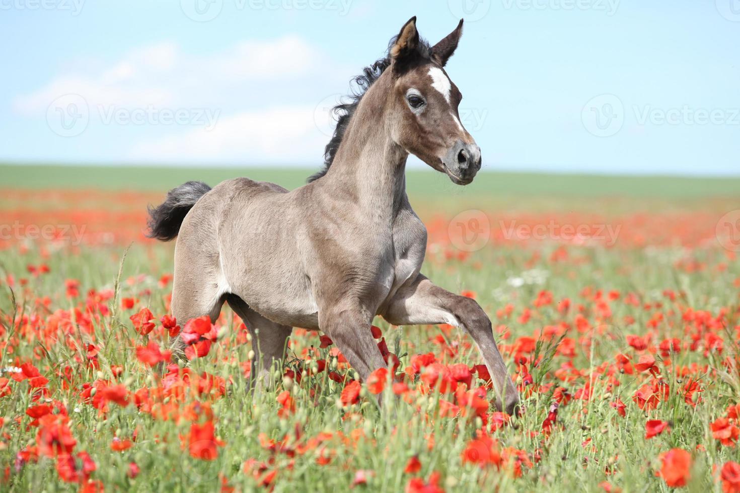 Arabian horse photo