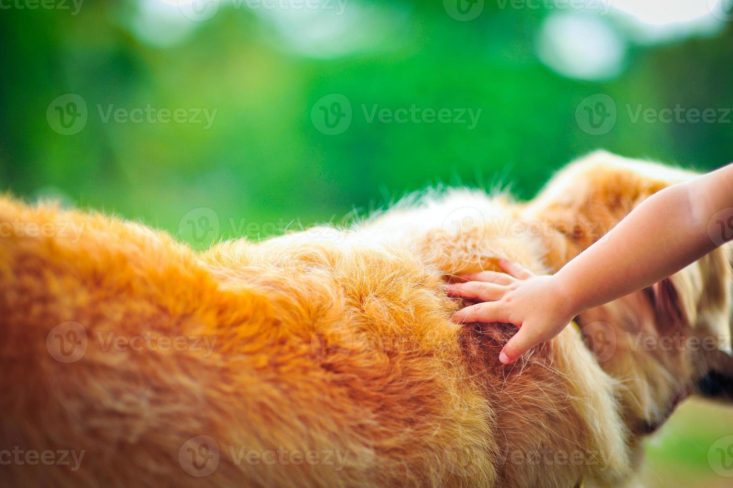 Hand touching golden retriever photo