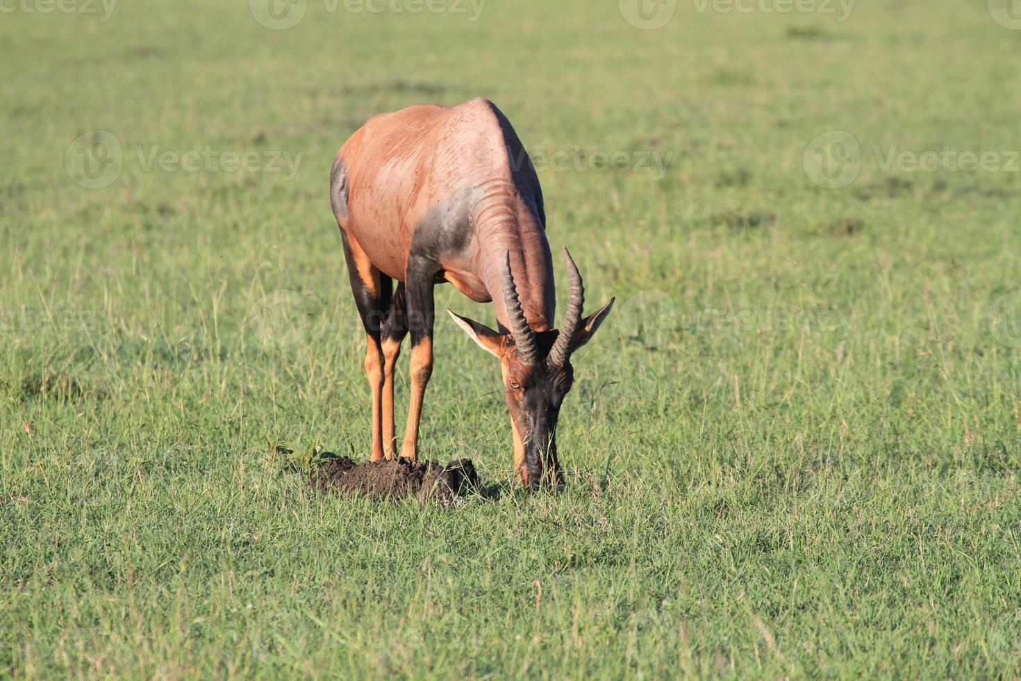Retrato de un topi de pastoreo, Masai Mara, Kenia foto