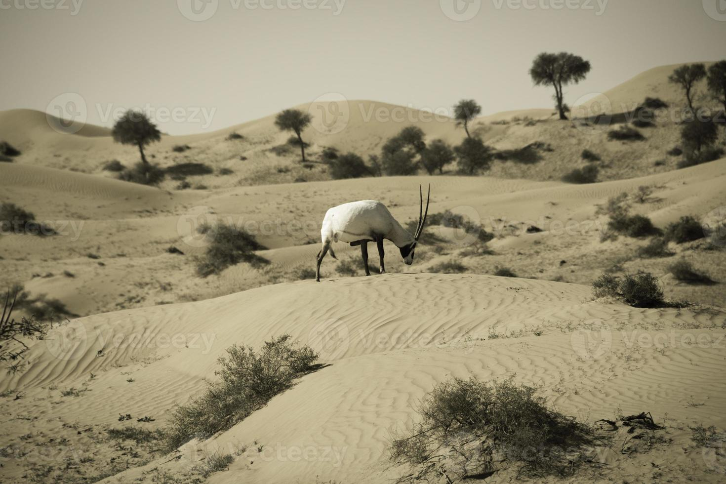 "Gemsbok antelope ""Oryx"" photo"