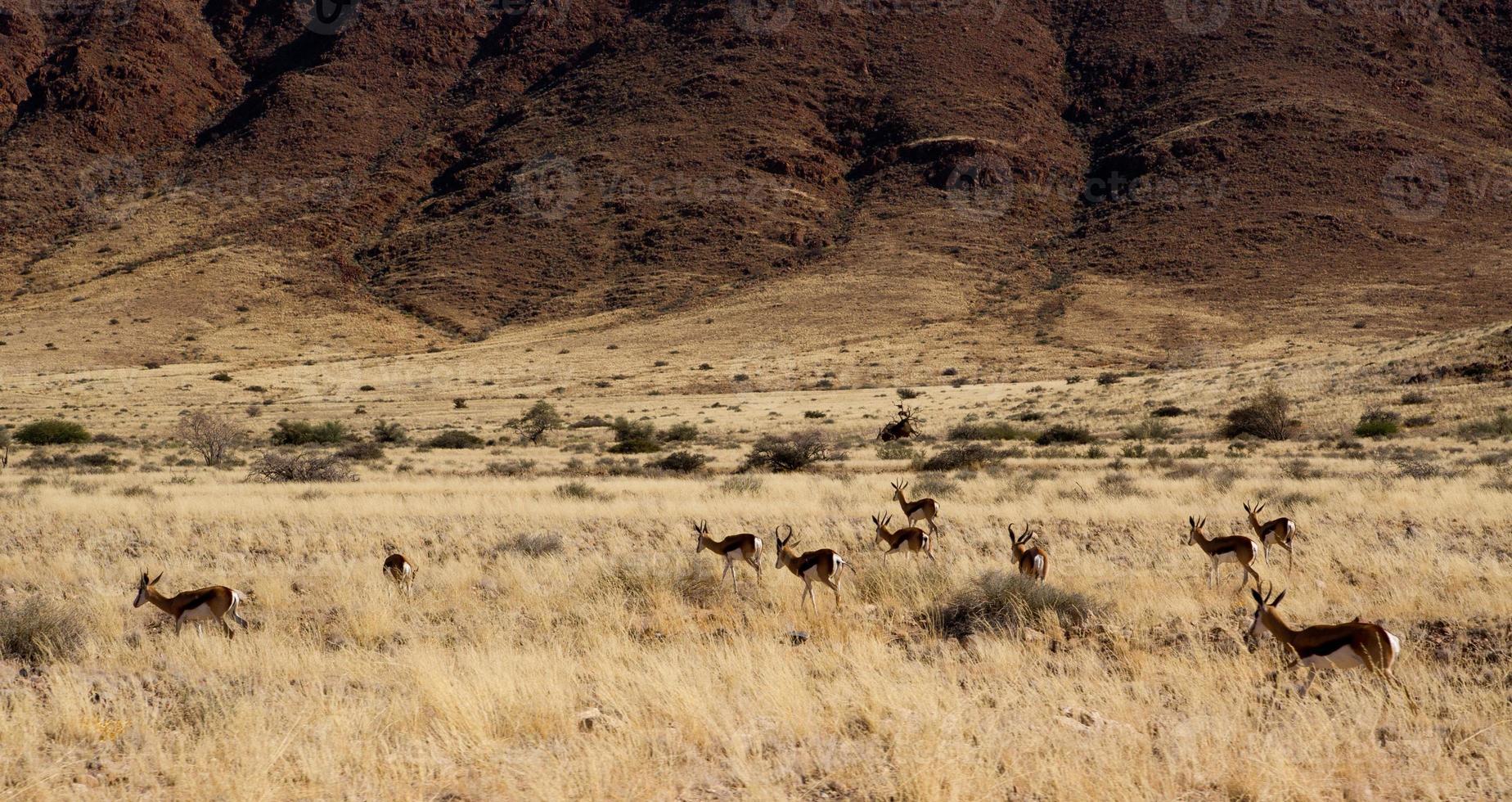 Springboks photo