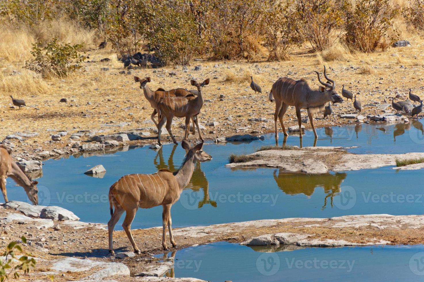 antílopes kudu bebiendo del abrevadero foto