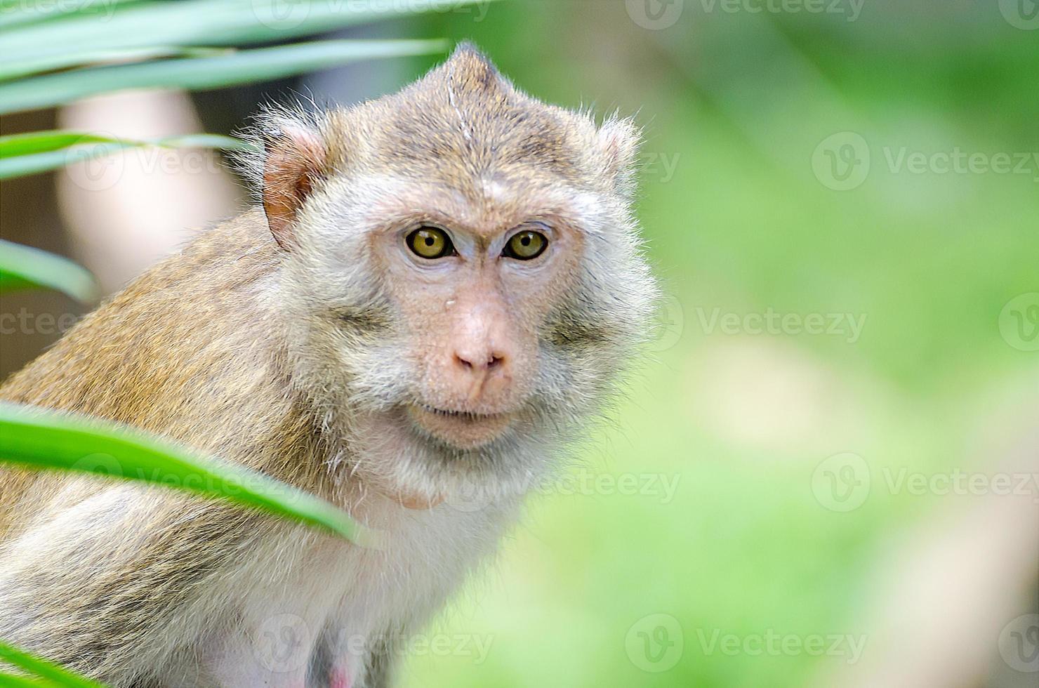 macaco de cola de cerdo (macaca nemestring) foto