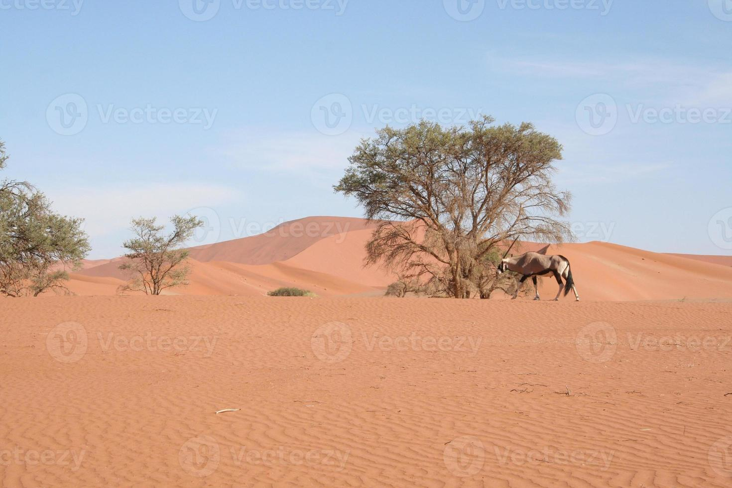 Oryx in the Dunes of Sossusvlei, Namib Desert, Namibia, Africa photo
