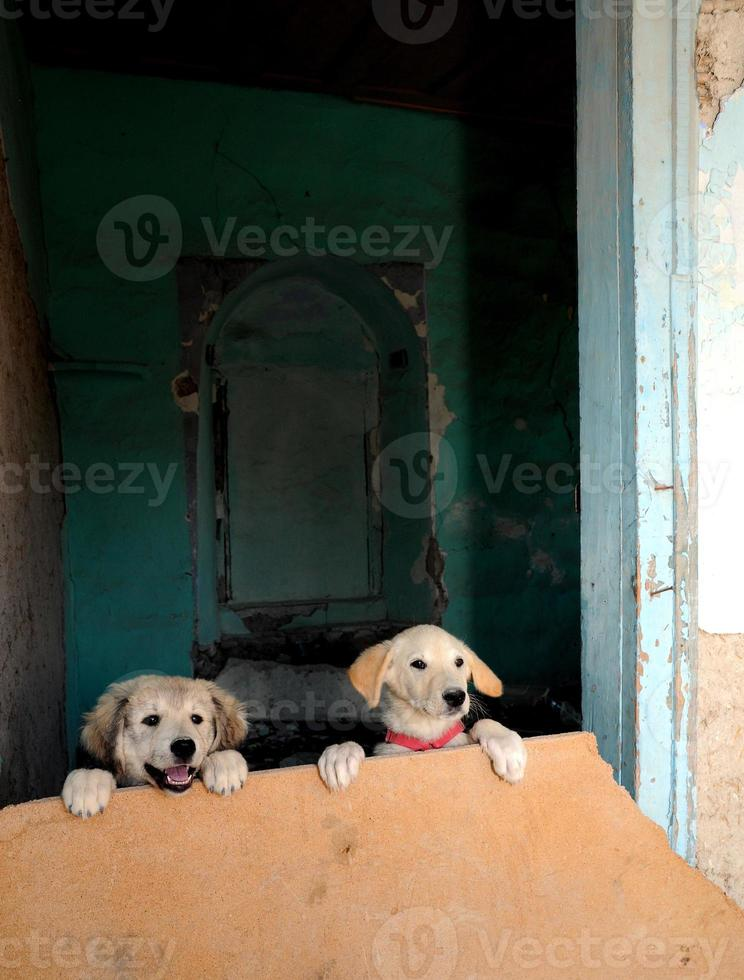 Two Golden Retriever puppies look over cardboard barrier photo