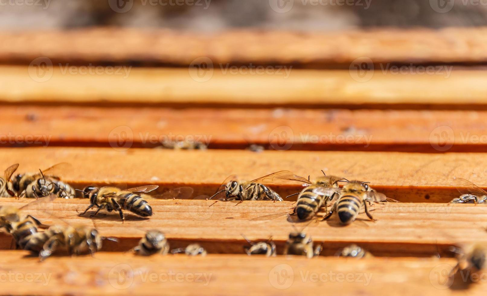 Bees on honeycomb frames photo