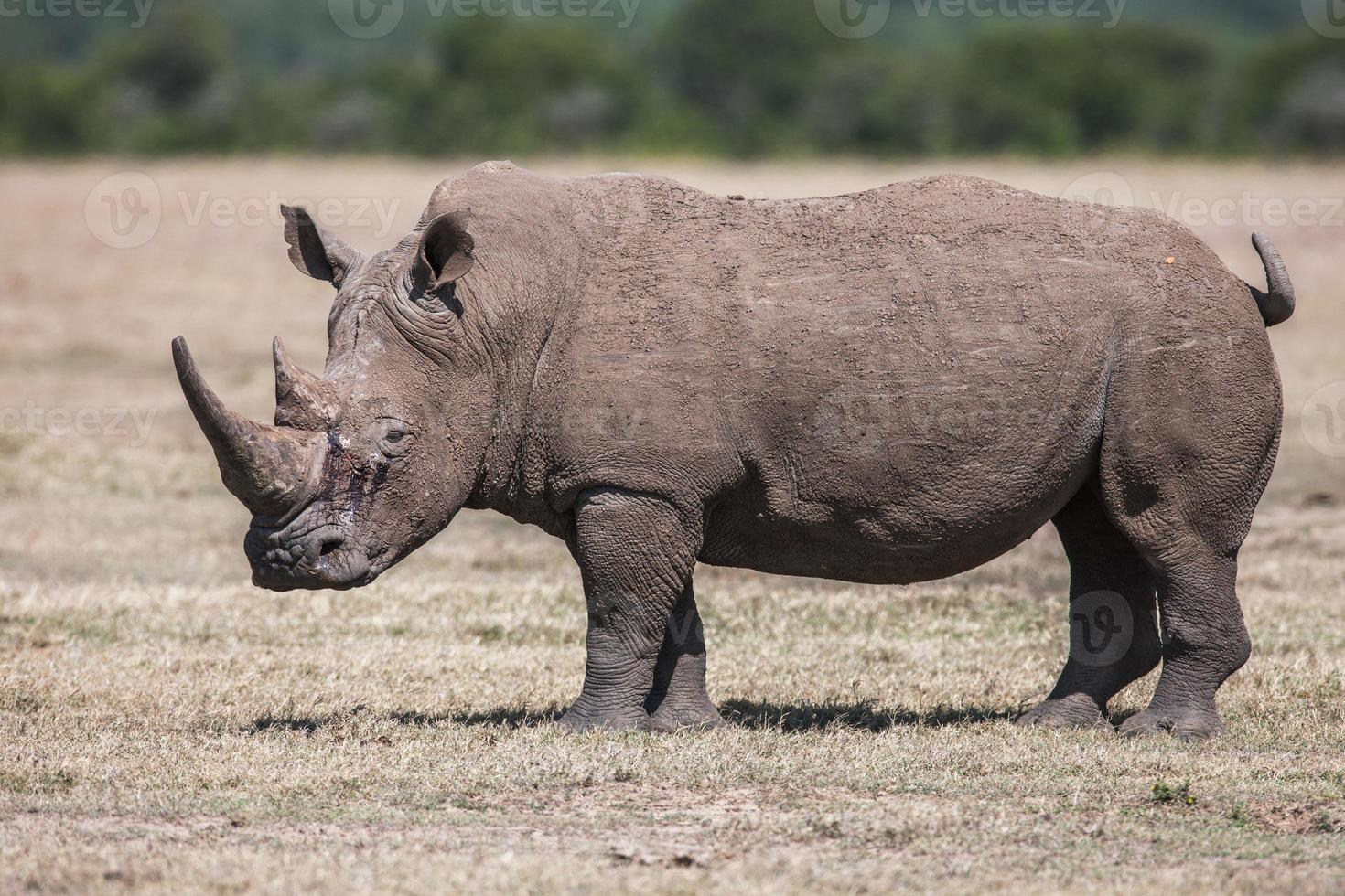 White rhinoceros grazing in the wild, Africa photo