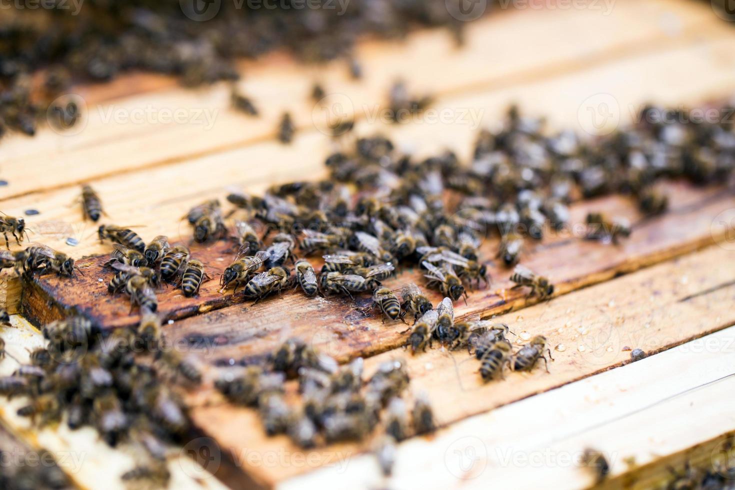 abejas ocupadas, vista cercana de las abejas que trabajan foto