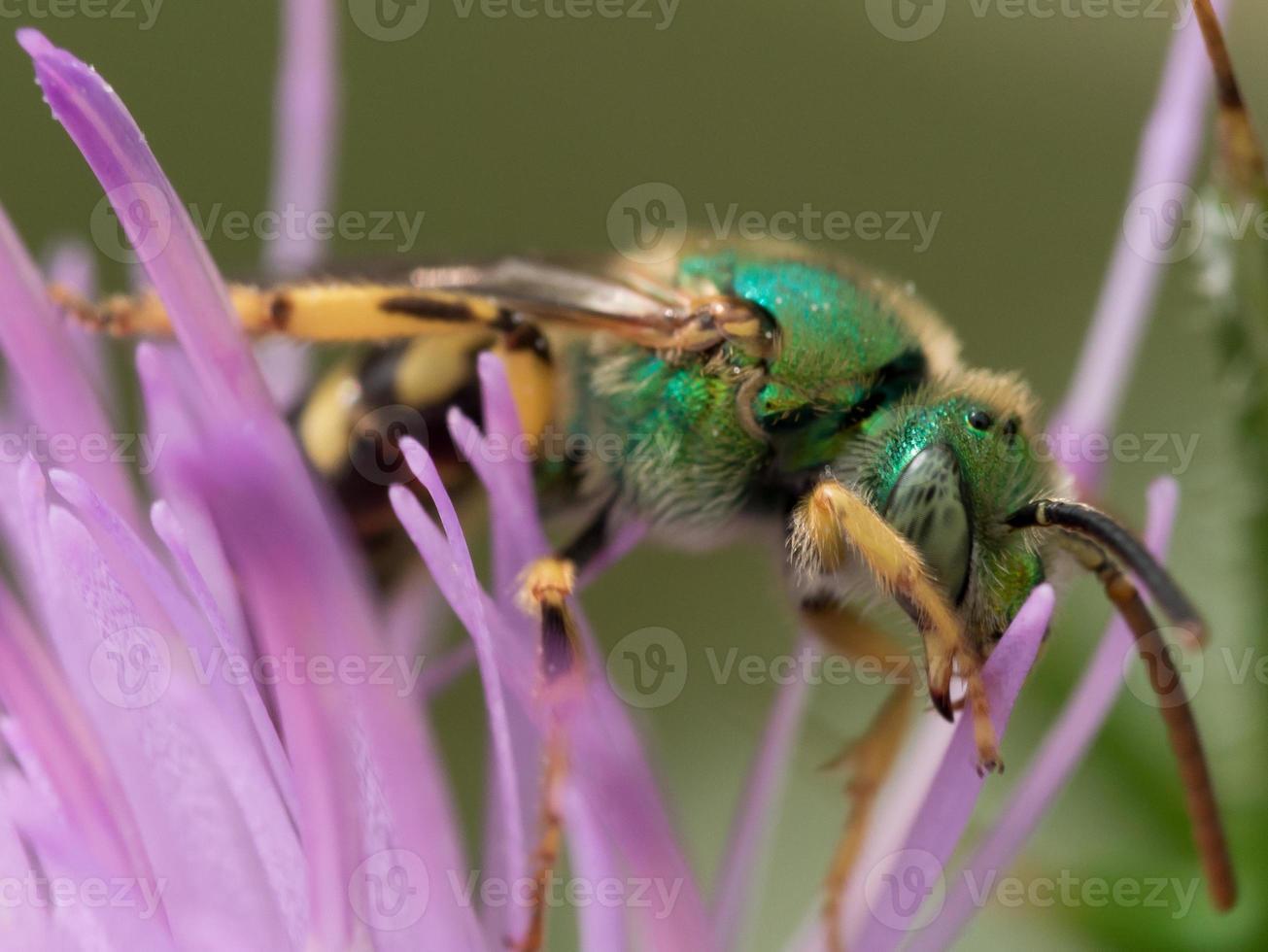 abeja verde sudor metálico en flor morada foto