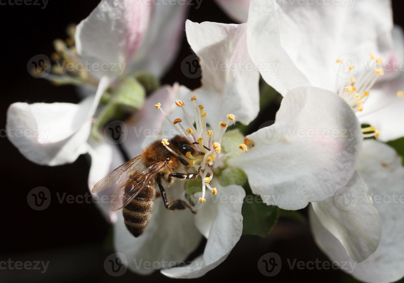 abeja en flor de manzana rosa foto