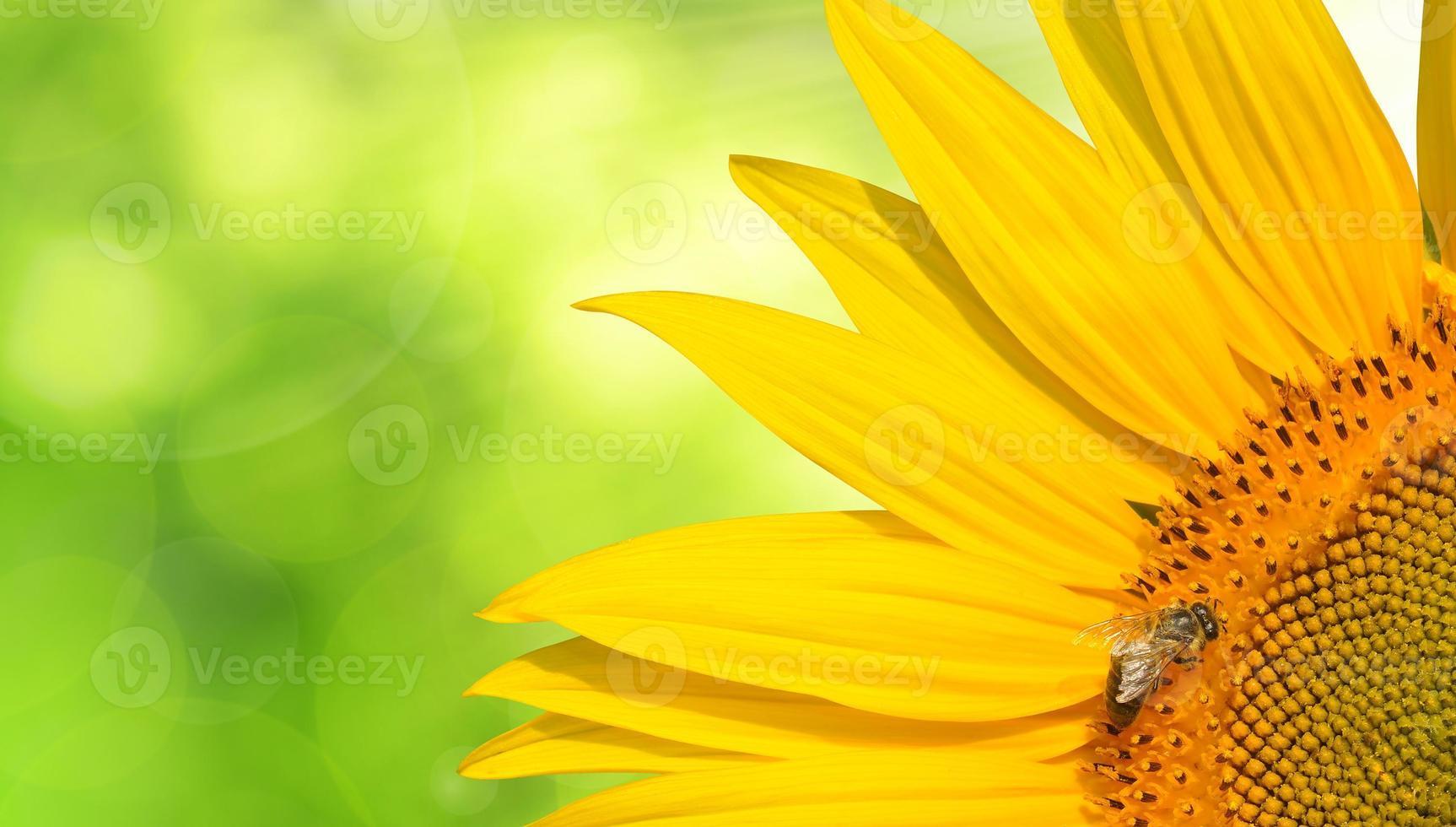 miel de abeja en un girasol foto