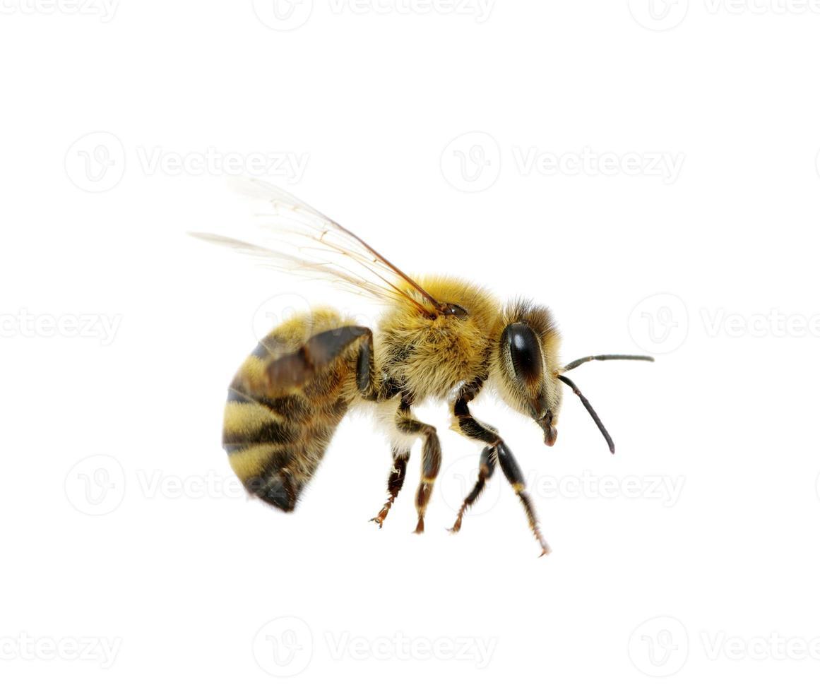 abeja foto