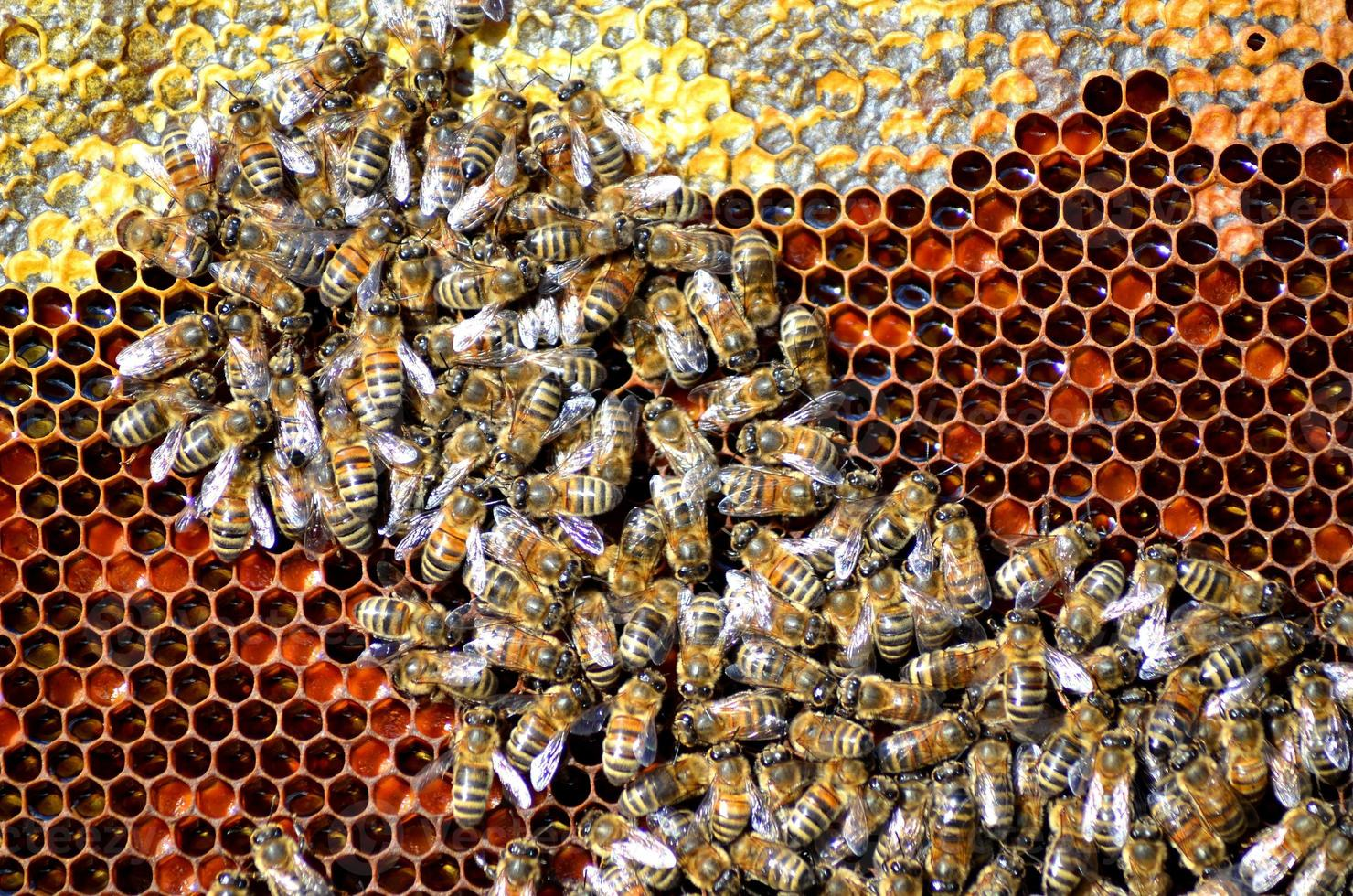 bees on honeycomb photo