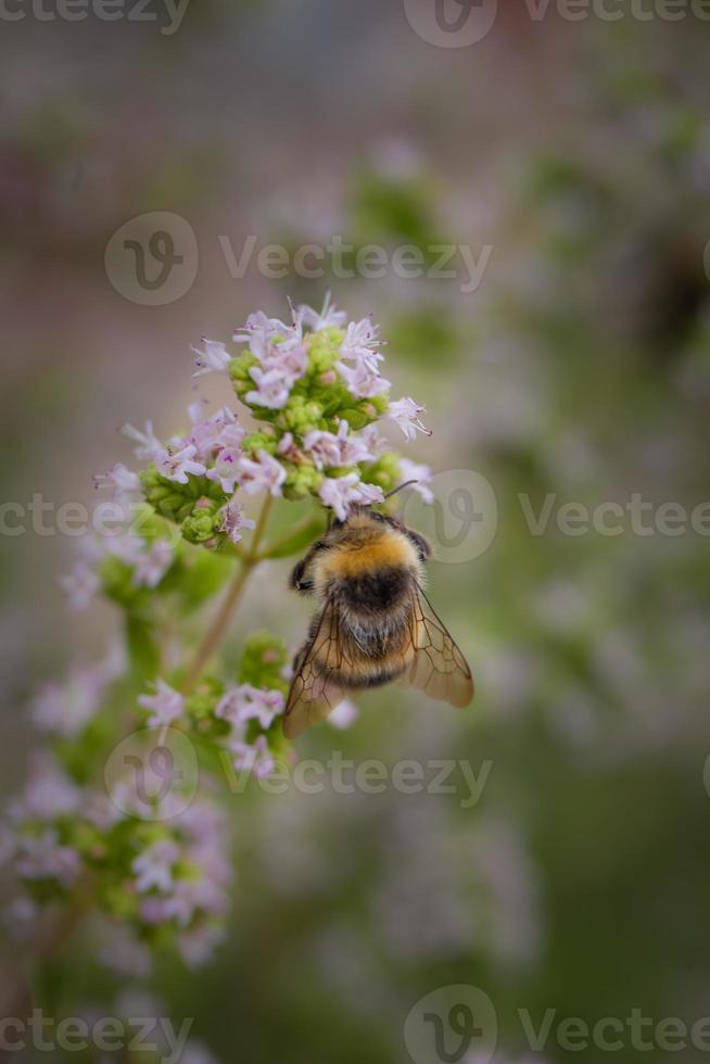 abeja recolectando foto