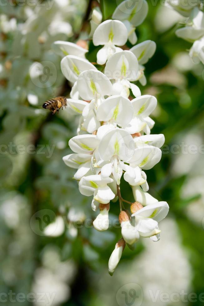 flor de acacia foto