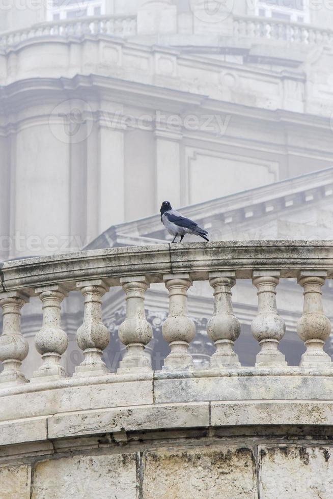 cuervo en el límite foto